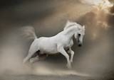 Fototapety white arabian stallion in dust
