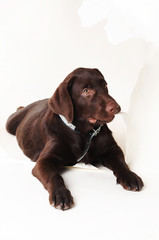 brown labrador puppy chewing on a paper on a white background
