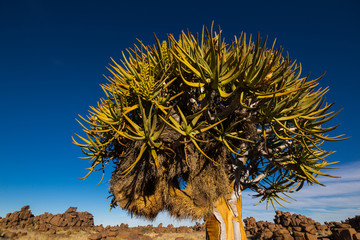 Quiver Tree in Giants Playground, Namibia