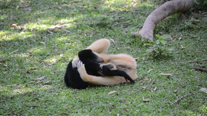 baby white cheeked gibbon is playing with mother
