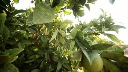 Limonenbaum mit Sonne
