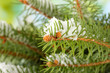 fir tree branch with snow, close up