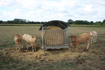 les vaches prennent la pose!