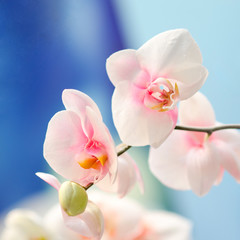 pink flowers orchid on a blue background