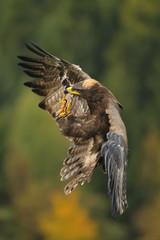 Landing Steppe Eagle