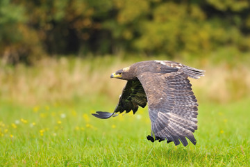 Steppe Eagle flying above the ground