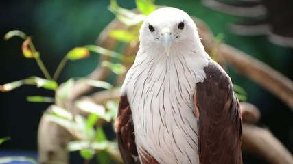 The majestic Hawk