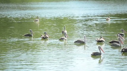 group of Pelicans swim in the pond