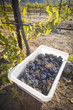 Wine Grapes In Harvest Bins One Fall Morning