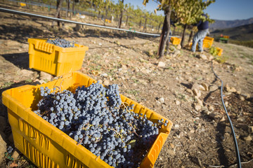 Workers Harvest Ripe Red Wine Grapes Into Bins