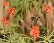 Malachite Sunbird (female)