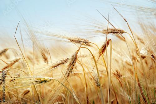 Grain field - 56269547