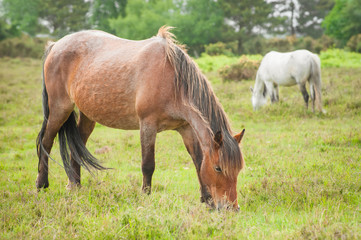wild ponies grazing in the new forest national park, UK