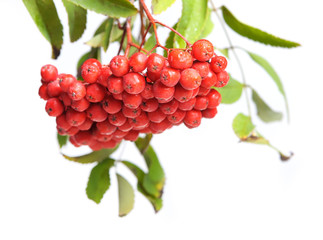 Bunch of red rowan
