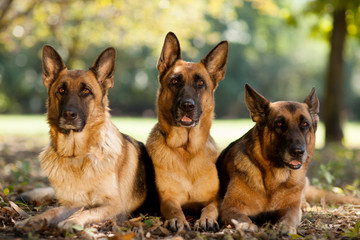 German Shepherds in a park