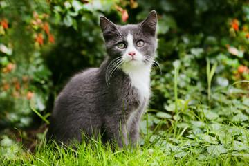 Grau weißes Kätzchen im Garten - kitten in the garden