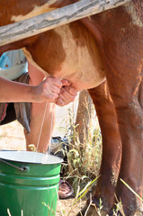Milkmaid milking a cow closeup vertical