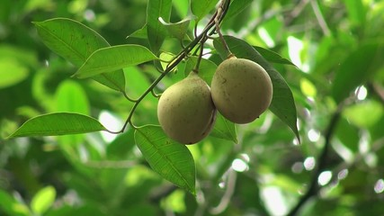 Nutmeg fruits on a tree (Myristica fragrans)
