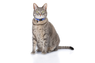 Tabby cat sitting and looking at camera isolated on white.