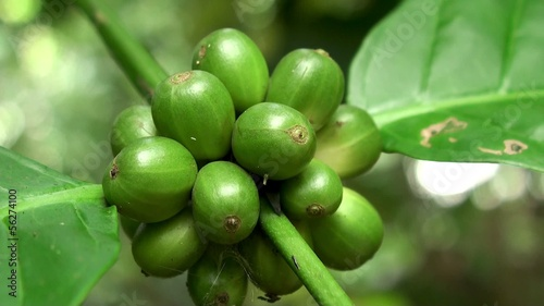 Unripe green fruits of coffee tree