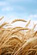 Grain field - 56280306