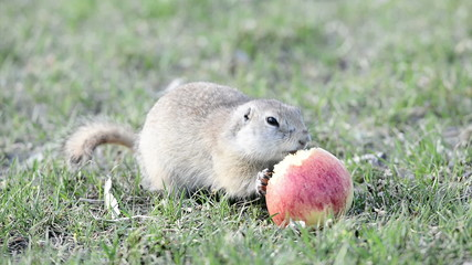 Gopher eats apple
