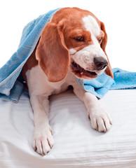 Very much sick dog  on  white background