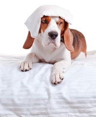 Very much sick dog  on  white background