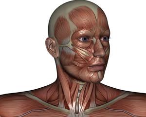 Human Anatomy Muscle Head
