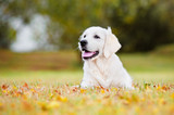 golden retriever puppy autumn portrait - 56285790
