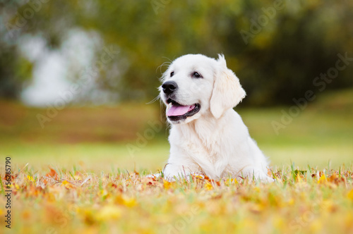 golden retriever puppy autumn portrait