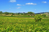 vineyard in Tarragona, Catalonia, Spain