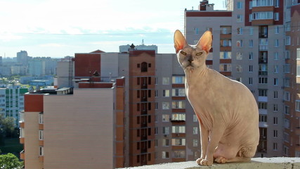 Calm cat sphinx sitting on balcony of high rise building