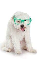 portrait of a dog in glasses.  Funny white dog in glasses