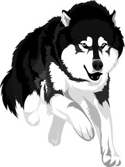 vector drawing of the dog breed malamute