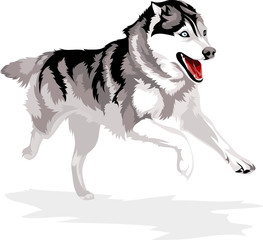 running dog breed Siberian Husky