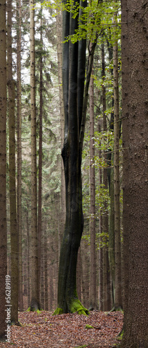 A beech with black trunk in the spruce forest on a rainy day