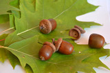 Mellow acorns next to the oak leaf on white background poster