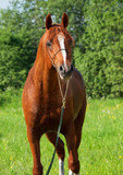chestnut arabian horse in the field