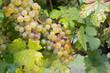 Natürliche Weintrauben im Weingarten