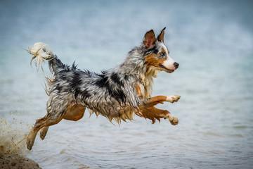 Australian Shepherd am Wasser