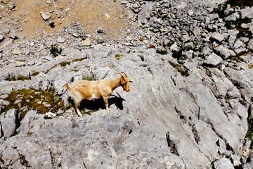 wild goat walking among the rocks on a mountain