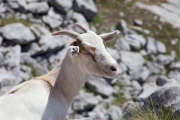 closeup of a wild mountain goat
