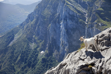 wild baby goat looking at the horizon at the edge of a mountain