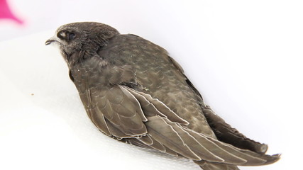 young common swift
