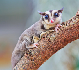 Sugar glider is native to Australia