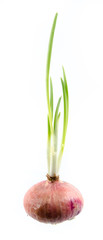 Onion bulbs with roots and green sprouts isolated on white backg
