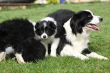 Border collie with puppies