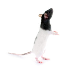 Ratte macht Männchen