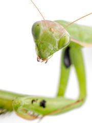 Praying Mantis Head Close Up On White Background